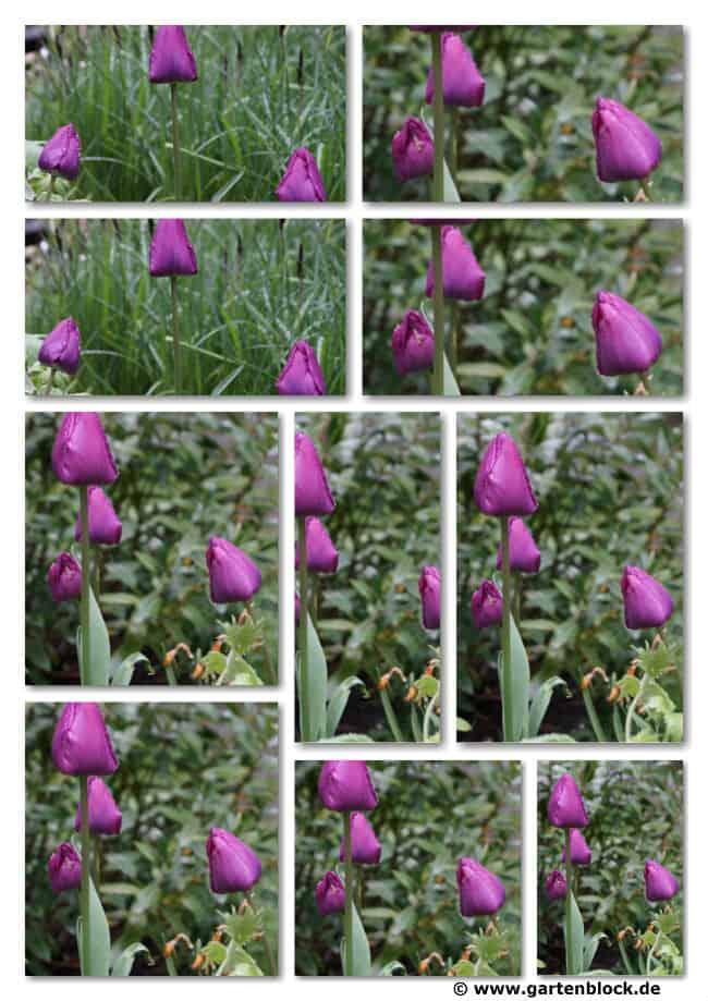 tulpen-collage